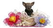 Chihuahua puppy sitting in Easter basket with flowers