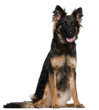 German Shepherd Dog, 8 months old