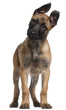 Belgian Shepherd puppy, 3 months old, standing in front of white