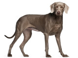 Weimaraner, 12 months old, standing in front of white background poster