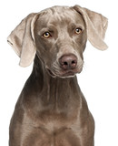 Close-up of Weimaraner, 12 months old poster