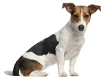Jack Russell Terrier, 12 months old, sitting