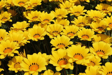 黄色のデイジー畑