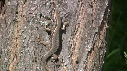 lucertola su albero