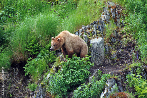 A young bear watching a threat.