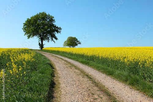 canvas print picture tree path yellow rape canola field and blue sky