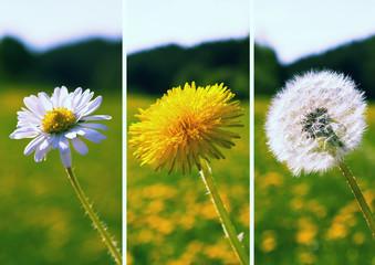 Gänseblümchen, Löwenzahn, Pusteblume