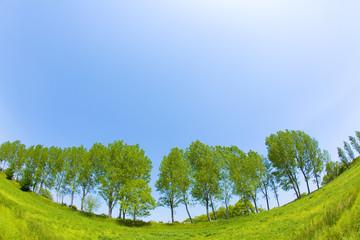 青空の下のポプラ並木