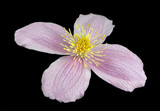 Macro Closeup on Clematis Pink Flower Isolated