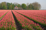 field with tulips