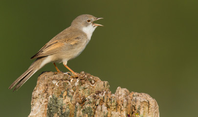 Whitethroat on a pole