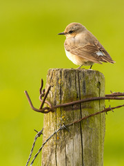 Wheatear on a pole