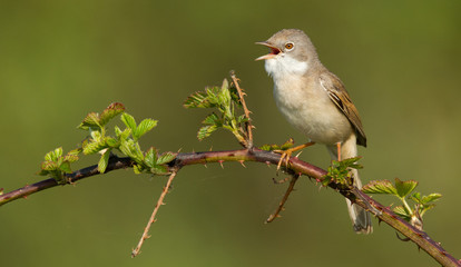 Whitethroat on a bream
