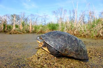 Blandings Turtle (Emydoidea blandingii)