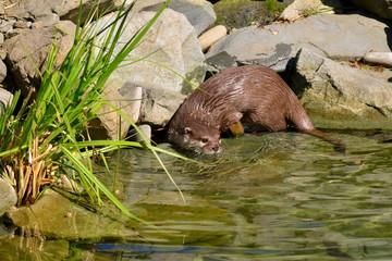 Oriental Small-clawed Otter,Aonyx cinerea