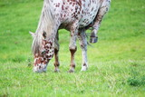 Appaloosa horse eating