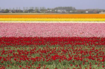 Flowerfields in Holland
