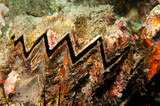sea clam with zigzag patern poster