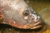 snapper fish with tumor on face poster