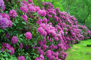 Lila Rhododendronsträucher 3