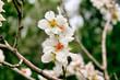 Аlmonds Flowers