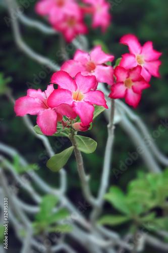 Impala lily flowers