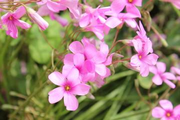 ピンクの紫カタバミの花