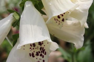 白のジキタリスの花