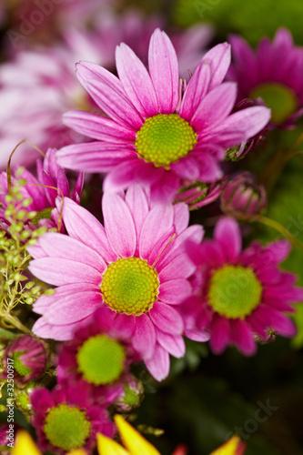 Blüte einer Cosmea
