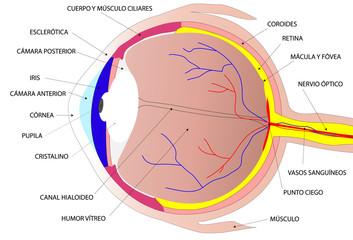 Dibujo del ojo humano