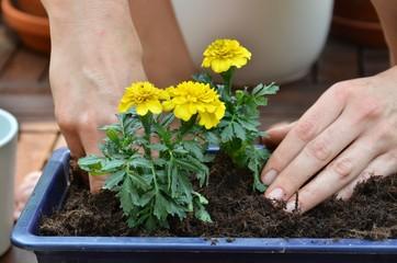 Blume frisch im Blumenkasten
