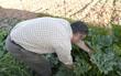 recogiendo verduras en el huerto