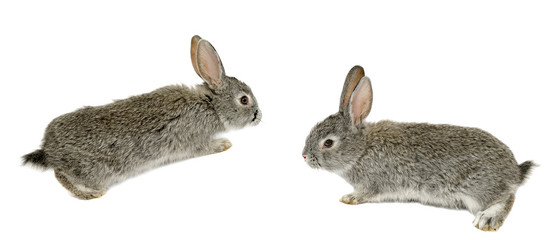 two grey rabbits