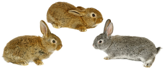 three grey rabbits