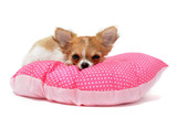 Fototapety chiot chihuahua sur coussin