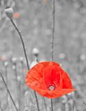 Czerwony mak na biało-czarnym tle - 32526545