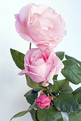 The three stages of a rose: bud, young flower, mature flower