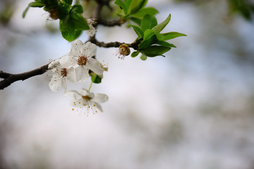 Plum blossoms on a softly blurred background