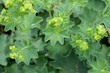 Frauenmantel (Alchemilla mollis) - viele Blüten im Freien