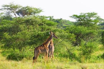 Giraffes in Tarangire National Park, Tanzania