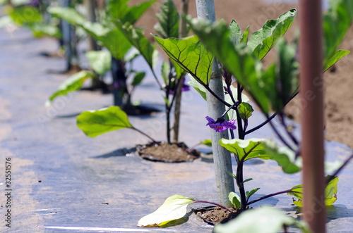 ナスの苗/家庭菜園