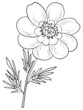 Flower adonis, contours