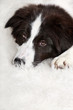 Young dog border collie lying on a white carpet