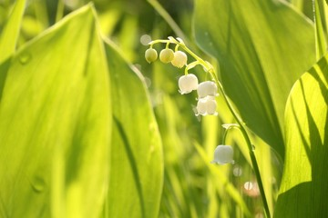 Lily of the valley in the forest