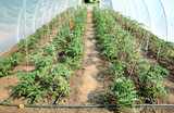 Greenhouse with tomato plant