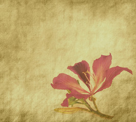 bauhinia flower on Grunge Abstract Background .