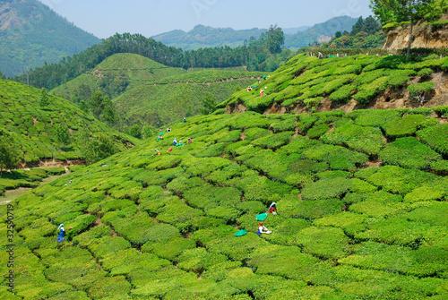 Чайные плантации - 32590719