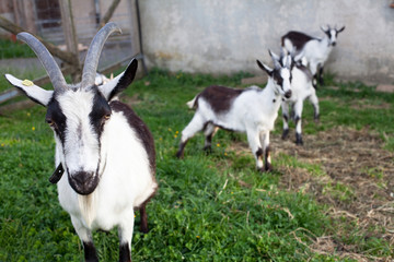 goats in farm house