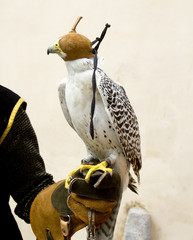 falconry falcon rapacious bird in glove hand
