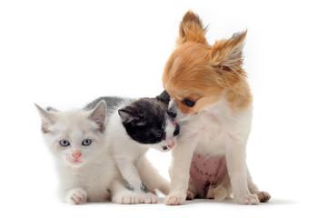 chiot chihuahua et chaton